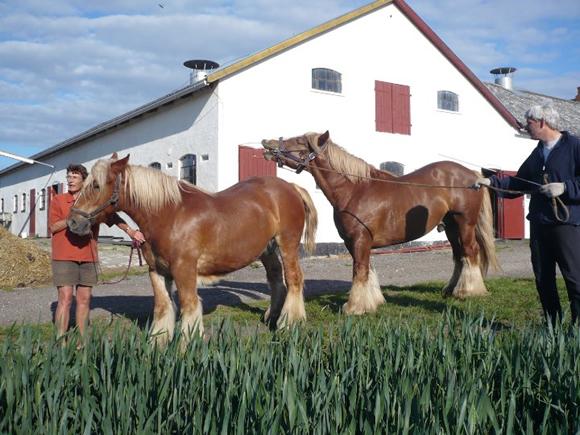 Bedækning   Jydsk Hesteavl Øst