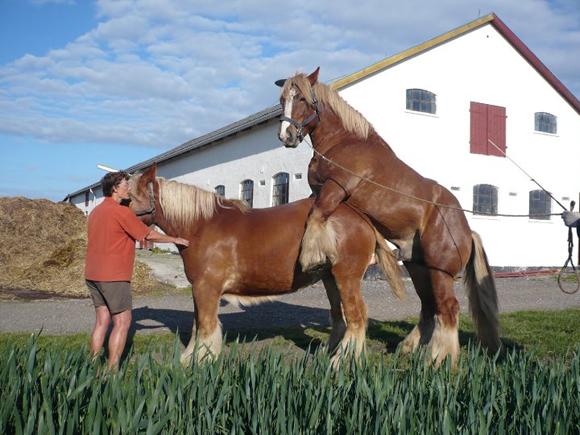 Bedækning | Jydsk Hesteavl Øst